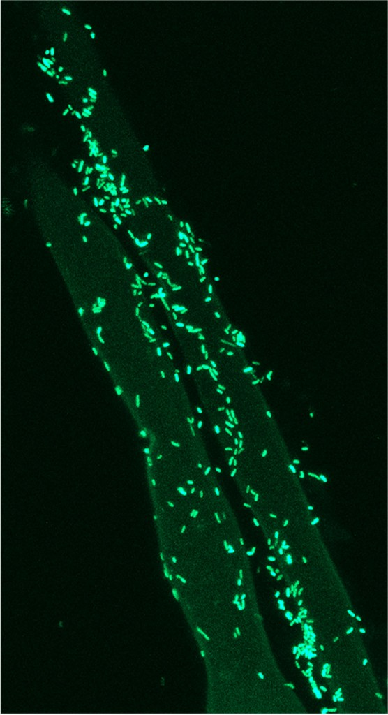 pseudomonas fluorescens lab report