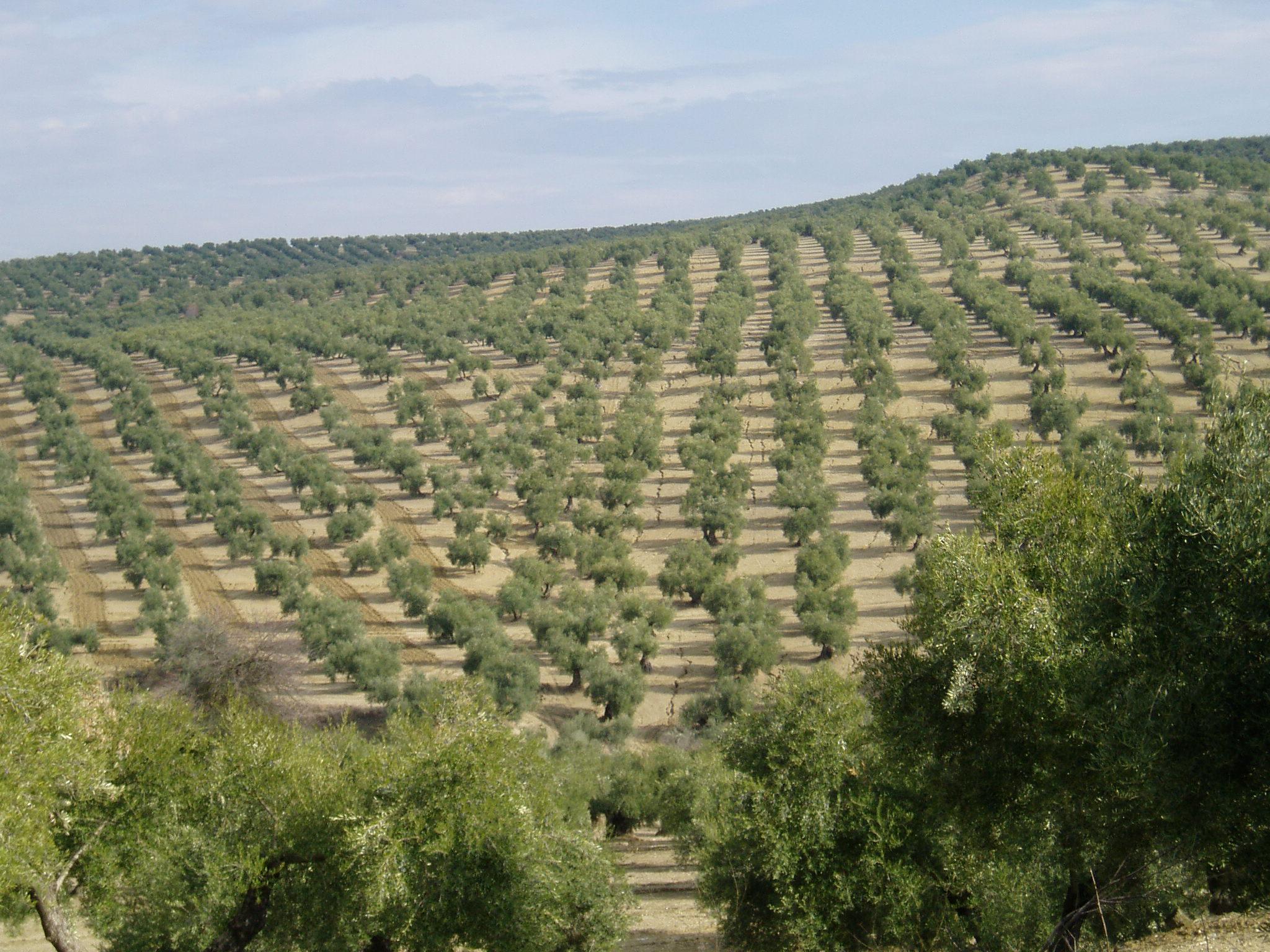 Spanish olive grove