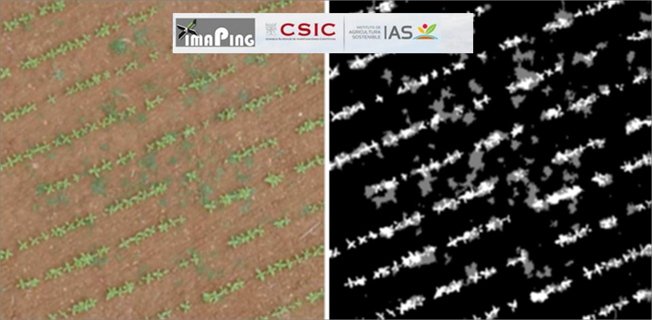 2. Representación de resultados obtenidos. Izquierda: Imagen original obtenida mediante vuelo con el dron utilizado; Derecha: Imagen resultado donde cada color representa una clase: cultivo (color blanco), malas hierbas (color gris) y zonas sin vegetación (color negro)